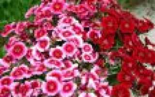 Цветок гвоздика: описание с фото, сортами, особенностями разведения и рекомендациями по уходу