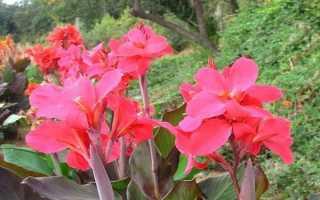 Цветок канны: можно держать дома, как выращивать, ухаживать и хранить в квартире