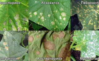 Желтые пятна на листьях огурцов: что делать, если они появились в открытом грунте, болезни и борьба с ними, чем лечить