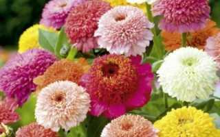Zinia: выращивание из семян при посадке на саженцы, фото цветов