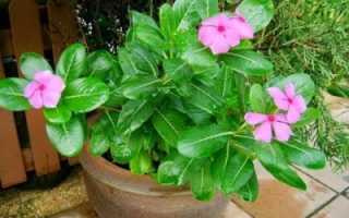 Катасетум (Catasetum) – описание, выращивание, фото | на