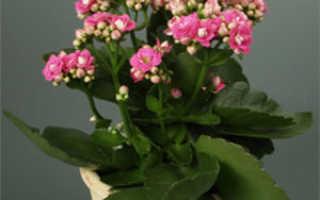 Размножение каланхо в домашних условиях разными способами; уход за растениями