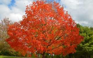 Клен канадский: клен сахарный, описание дерева, как размножить, посадка, уход, где растет, фото разновидностей, растет на пне, использование в пейзаже