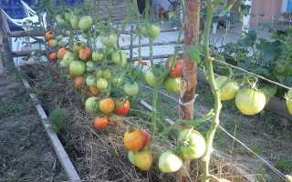 Томат Соседская зависть f1: отзывы, характеристика и описание сорта, его преимущества и недостатки, секреты успешного выращивания