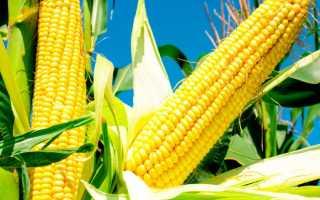 Кукуруза: посадка и уход в открытом грунте, выращивание из семян