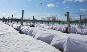 Когда открывать виноград после зимовки весной, от чего зависит срок открытия, как правильно раскрывать виноград после зимы в подмосковье